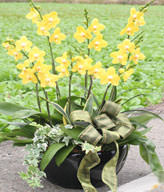Yellow Orchids.Congratulation