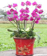 Red Orchids,Congratulation