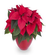 The Great Poinsettia